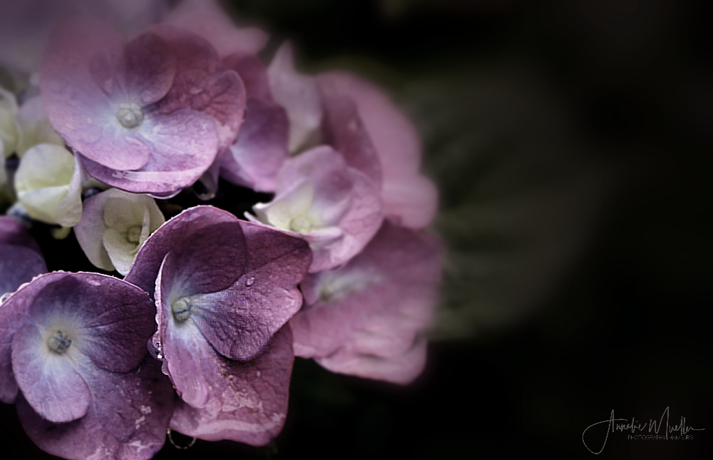 Lady violett